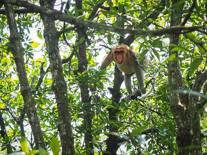Si Monyet Belanda, Bekantan.